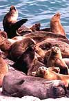 [ Picture, Sea Lions ]