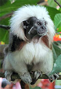 [ Picture, Cotton-Top Tamarin ]